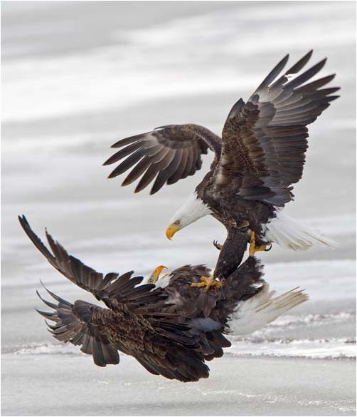 eaglefight_audobon.JPG (37 KB)