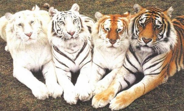 tigers.jpg (126 KB)