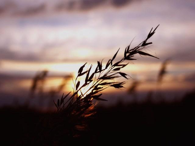 autumnwheat.jpg (130 KB)