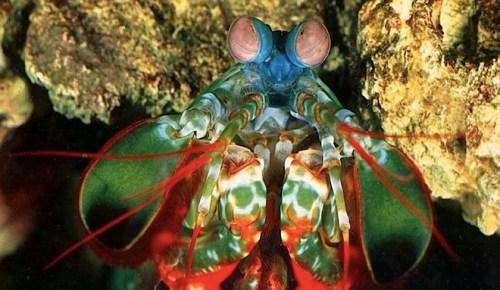 mantisshrimp_2.jpg (131 KB)