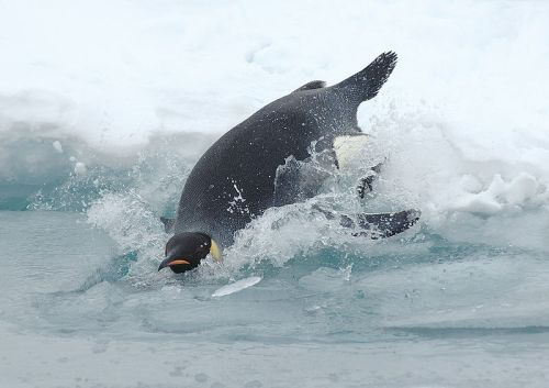 800px-Diving_emperor_penguin.jpg (81 KB)