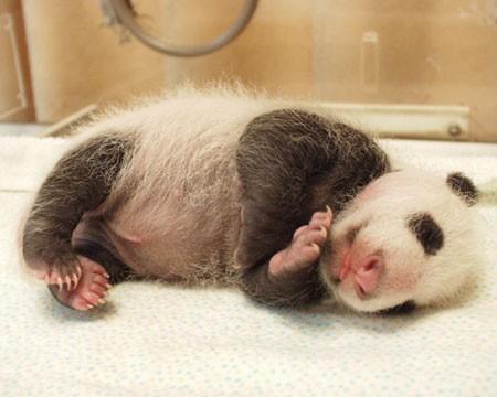 Panda 5.jpg (36 KB)