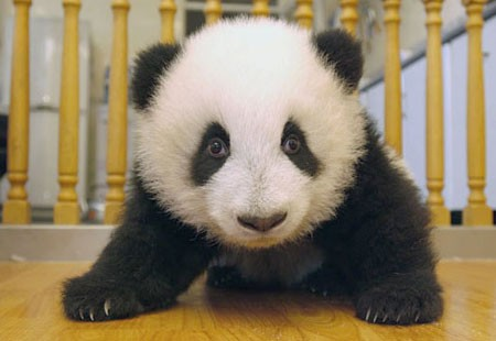 Panda 6.jpg (30 KB)