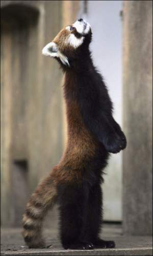 red-panda-standing.jpg (37 KB)
