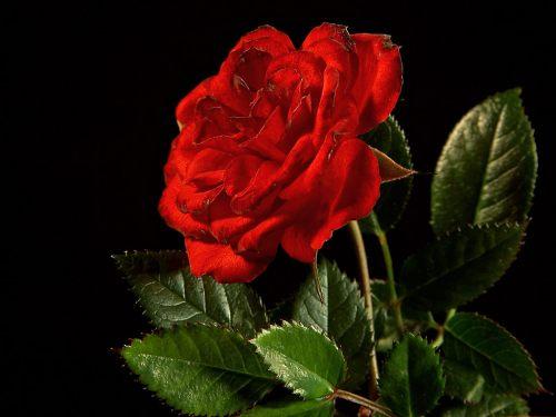 rose_02_bg_040106.jpg (118 KB)