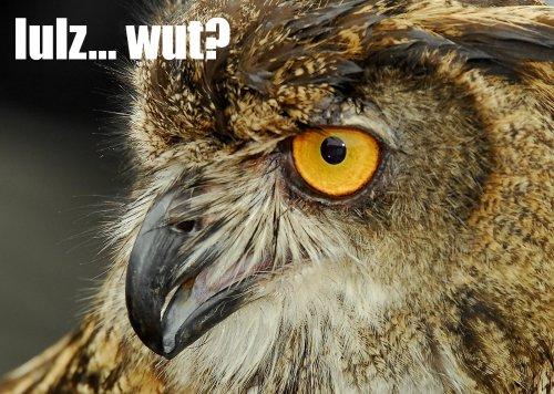 owl_lulzwut.jpg (510 KB)