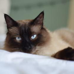huisdieren-katten-lief-blauweogen