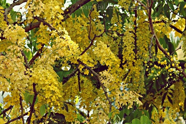 Kani Konna Flowers