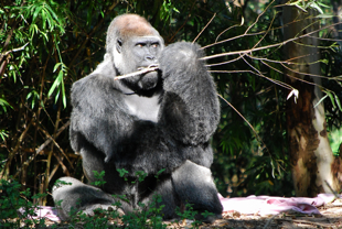 Pangani_Forest_Exploration_Trail_Gorilla_105_310