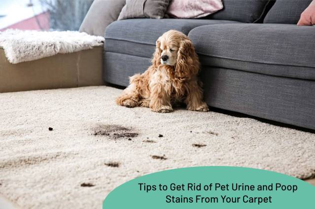 Tips To Get Rid Of Pet Urine And Poop Stains From Your Carpet - My