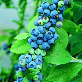 blueberries-main-m-m
