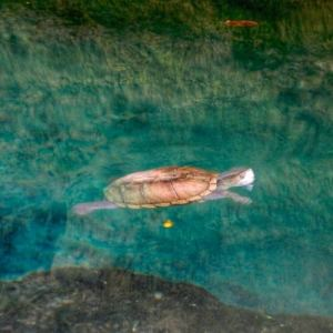 Best Cenotes for Snorkelling in Tulum (Mexico) - Gran Cenote Turtle