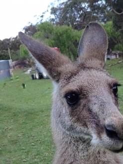 Australia Farm Kangaroo Molly