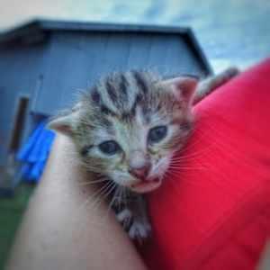 Australia Farm Kitten