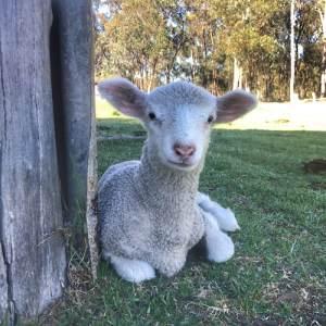 Australia Farm Lamb