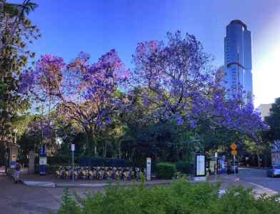 Brisbane - Jacarandas - City Botanic Gardens