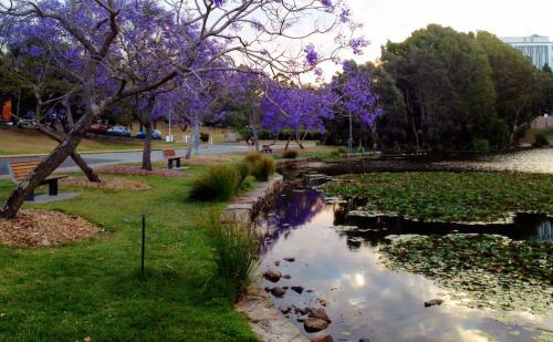 Brisbane - Jacarandas - University of Queensland