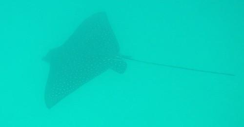 Heron Island - Snorkelling Eagle Ray 01 - before