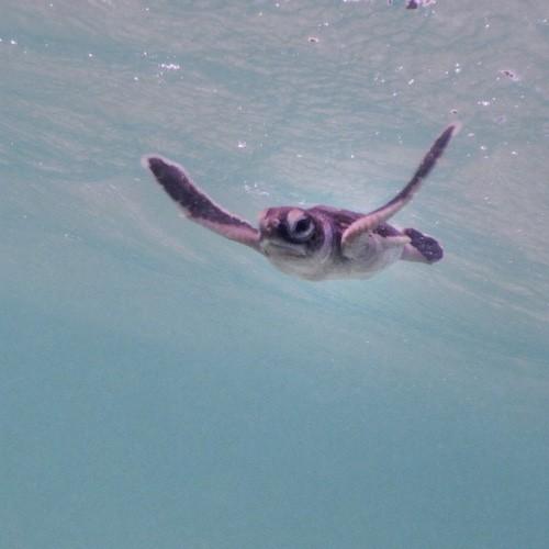 Heron Island - Turtle Hatchling swimming 01