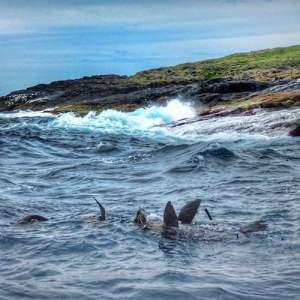 Montague Island Seals swimming