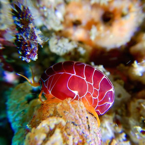 Port Stephens Dive Shrimp