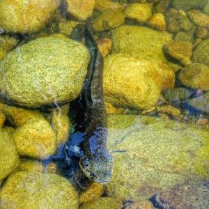 Lower Portals Mount Barney Eel