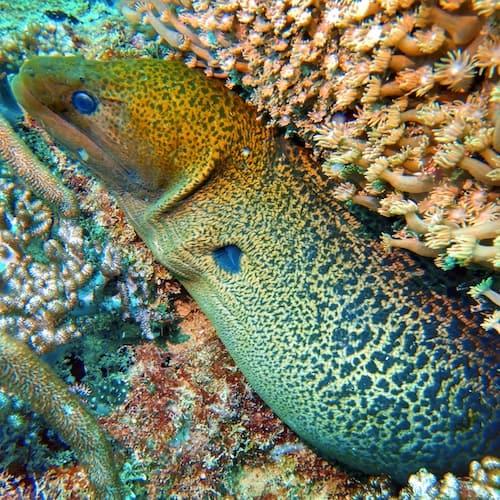 SS Yongala dive - Moray Eel