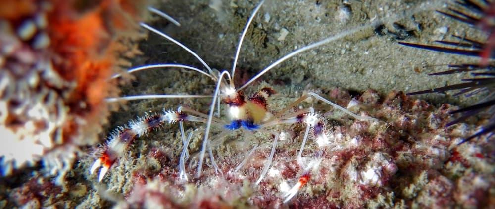 Kirra Reef Cleaning Shrimp Scuba Diving Gold Coast