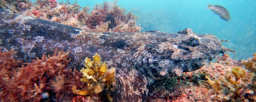 Kirra Reef Scuba Diving Gold Coast Shark Wobbegong