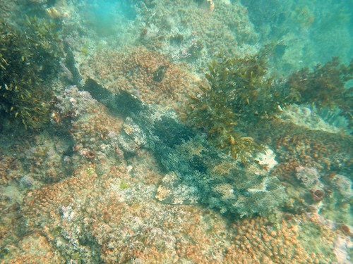 Snorkelling Kirra Reef - Wobbegong shark