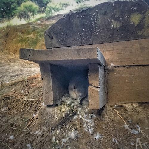 Nesting box with little penguin at Pohatu - Akaroa - New Zealand South Island