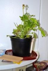 geranium 2