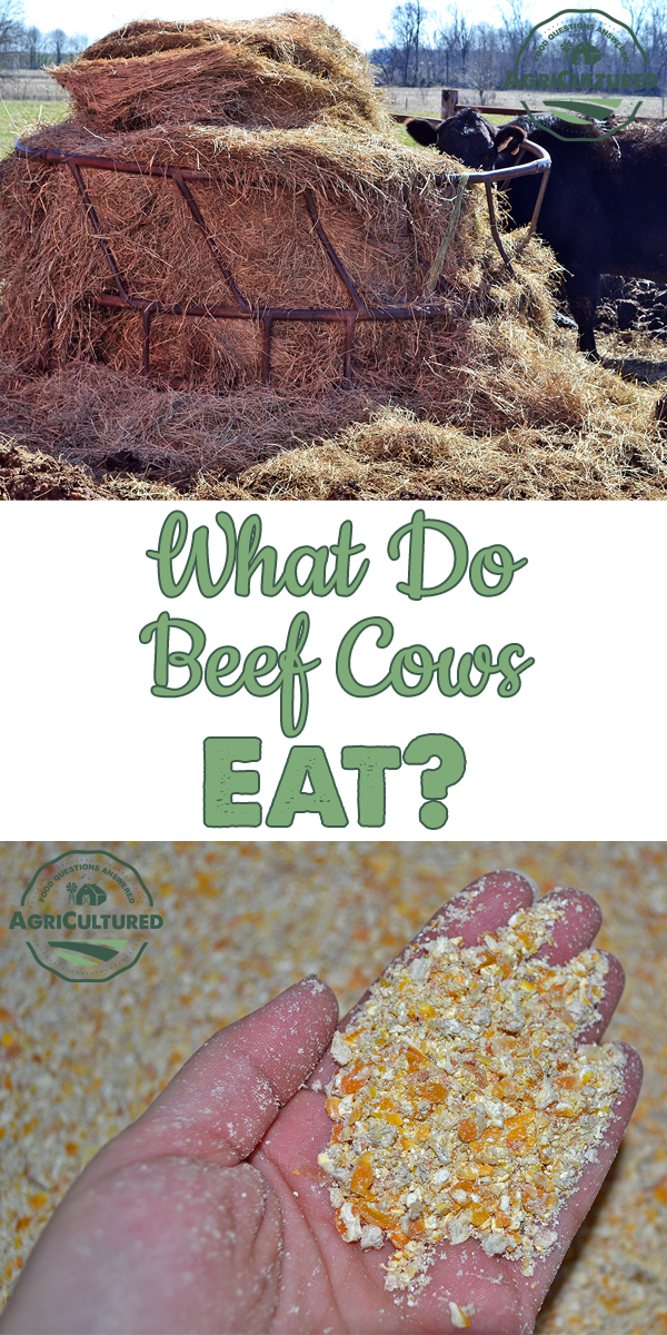 Unlike people, cattle can eat grass and get the nutrients they need thanks to the magic of a rumen and the protozoa and bacteria that live inside it. Now let's talk about what exactly beef cattle do eat.