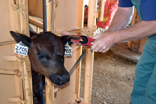 fly tag for calf