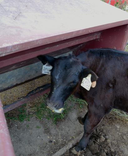 calf eating creep feed