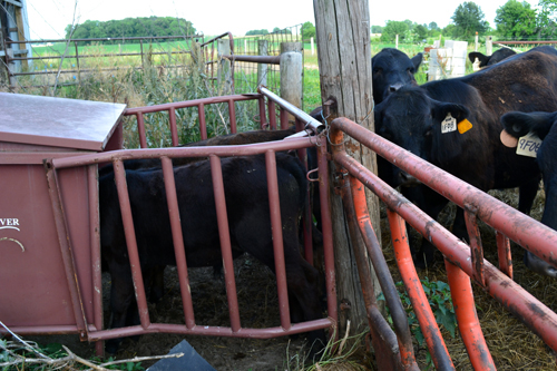 calves in creep feeder