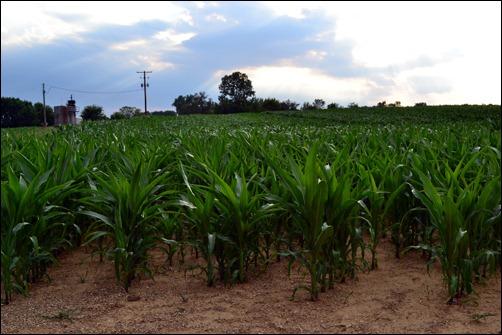 8 week corn