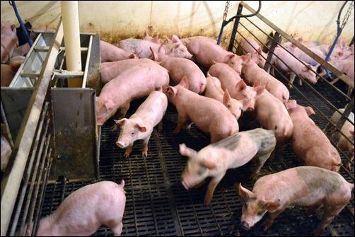 pig nursery