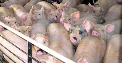 Medications for pigs