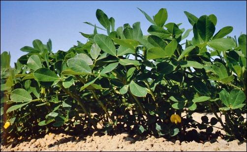 Seed to Peanut flowers