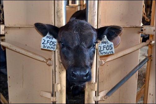 calf with ear tags