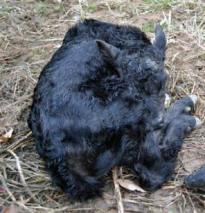 calf 1