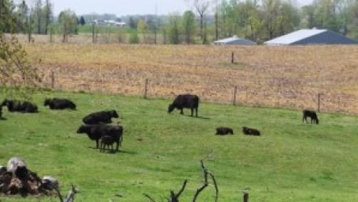 cows at pasture