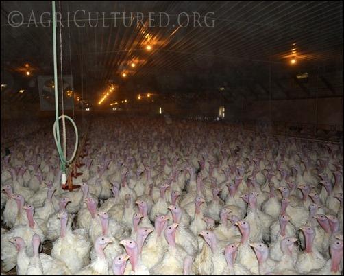 9 week old turkeys in finisher barn