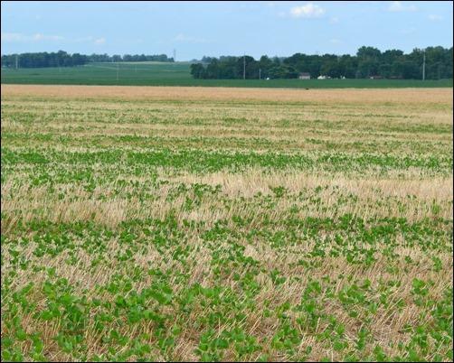 double crop soybean field July 21 2013