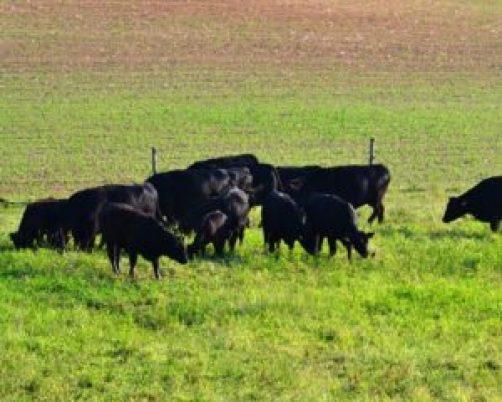 shiny cows