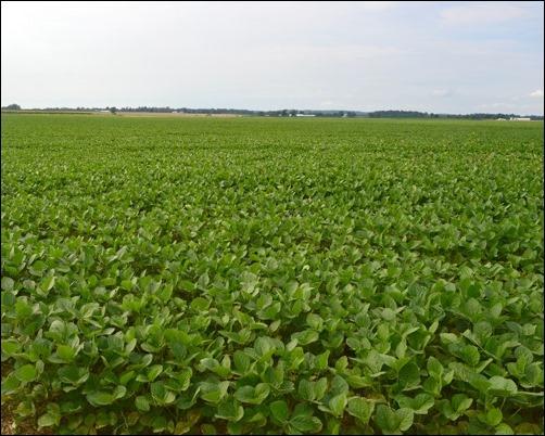 soybean field July 21 2013