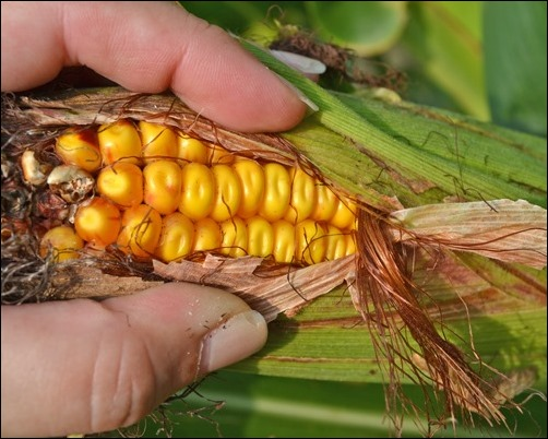 field corn drying
