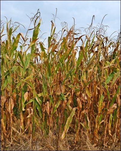 corn stalks 091613
