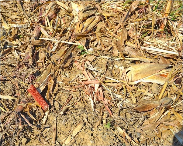 Harvested corn fields corn stalk residue sciox Choice Image
